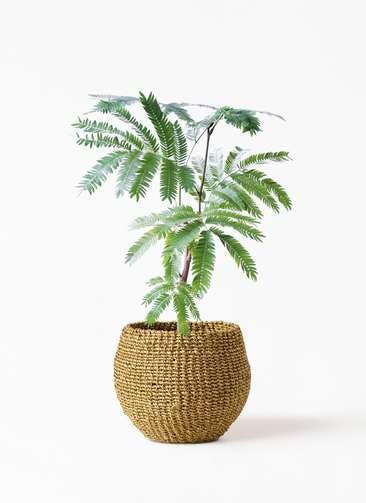 観葉植物 エバーフレッシュ 4号 ボサ造り アバカバスケット オリーブ 付き