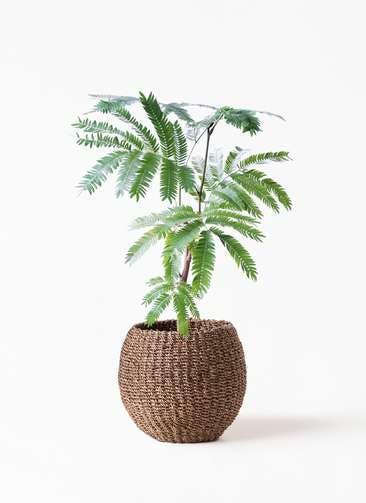 観葉植物 エバーフレッシュ 4号 ボサ造り アバカバスケット スモーク 付き