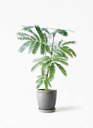 観葉植物 エバーフレッシュ 4号 ボサ造り アステア トール ライトグレー 付き