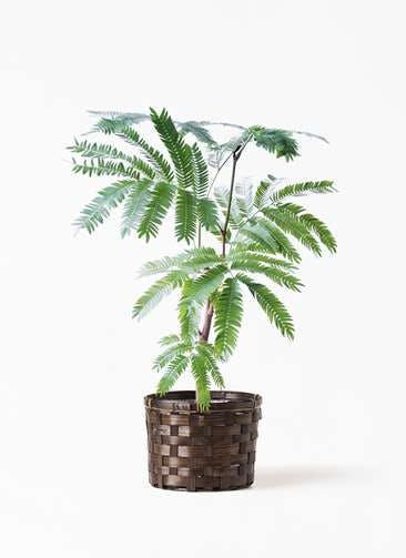 観葉植物 エバーフレッシュ 4号 ボサ造り 竹バスケット付き