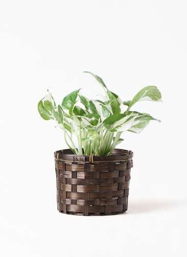 観葉植物 ポトス 3号 竹バスケット付き