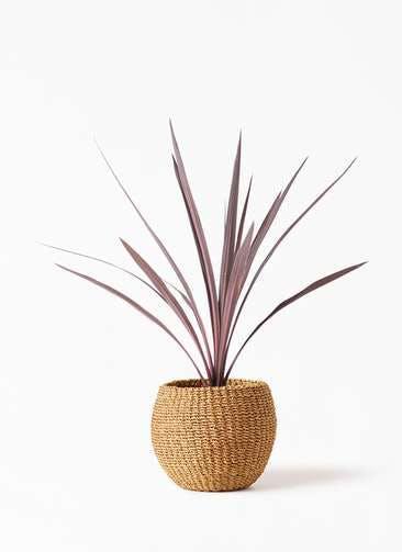 観葉植物 コルディリネ (コルジリネ) レッドスター 4号 アバカバスケット タン 付き