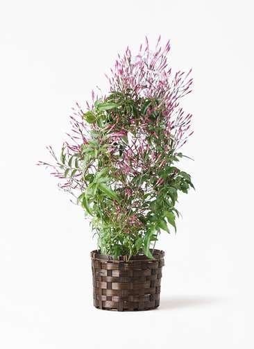 観葉植物 ハゴロモジャスミン 4号 竹バスケット付き