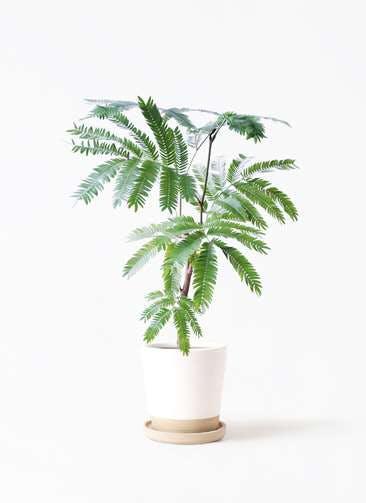 観葉植物 エバーフレッシュ 4号 ボサ造り マット グレーズ テラコッタ ホワイト 付き