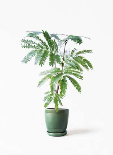 観葉植物 エバーフレッシュ 4号 ボサ造り アステア トール グリーン 付き