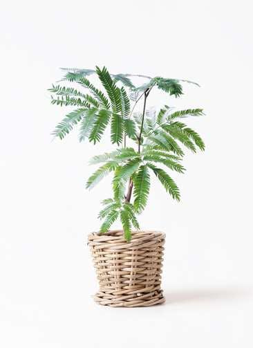 観葉植物 エバーフレッシュ 4号 ボサ造り グレイラタン 付き