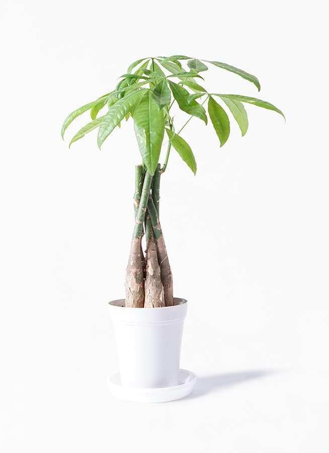 観葉植物 パキラ 4号 ねじり プラスチック鉢