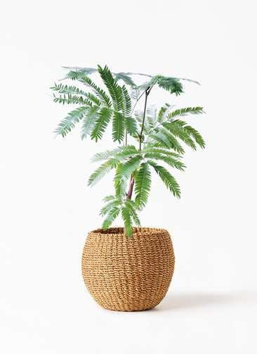 観葉植物 エバーフレッシュ 4号 ボサ造り アバカバスケット タン 付き