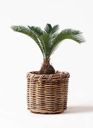観葉植物 ソテツ 6号 グレイラタン 付き