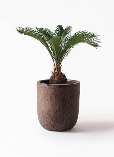 観葉植物 ソテツ 6号 ビトロ ウーヌム コッパー釉 付き