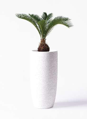 観葉植物 ソテツ 6号 エコストーントールタイプ white 付き