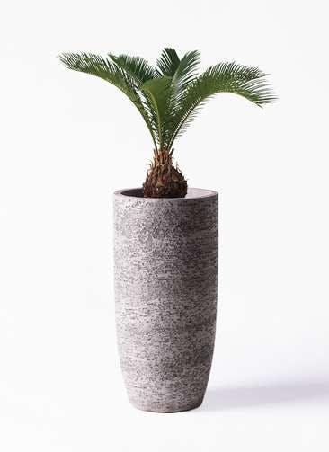 観葉植物 ソテツ 6号 エコストーントールタイプ Gray 付き