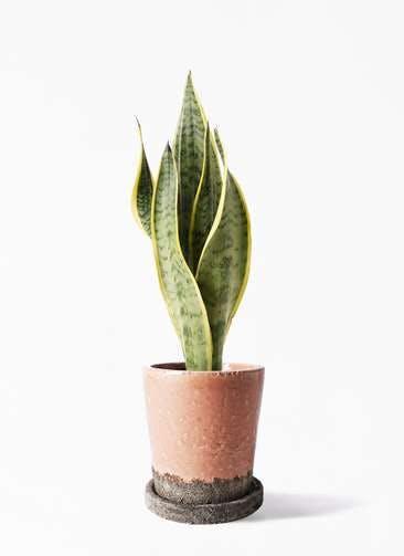 観葉植物 サンスベリア 4号 トラノオ ヴィフポット サーモンピンク 付き
