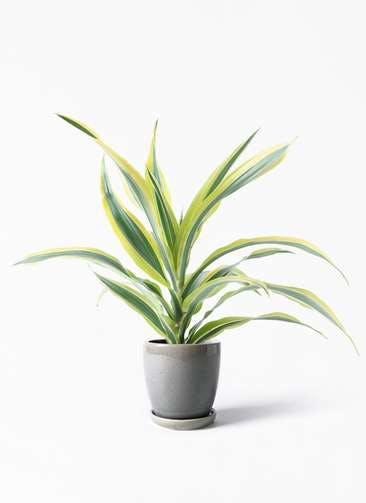 観葉植物 ドラセナ ワーネッキー レモンライム 4号 アステア トール ライトグレー 付き