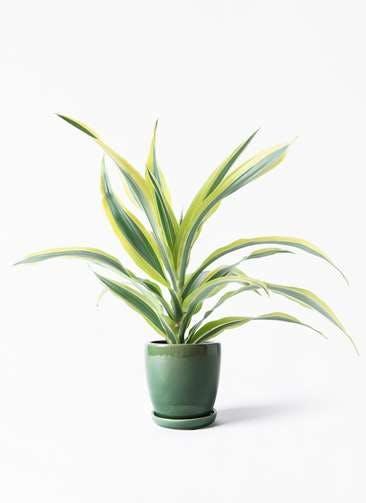 観葉植物 ドラセナ ワーネッキー レモンライム 4号 アステア トール グリーン 付き