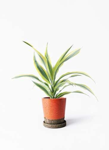 観葉植物 ドラセナ ワーネッキー レモンライム 4号 ヴィフポット オレンジ 付き