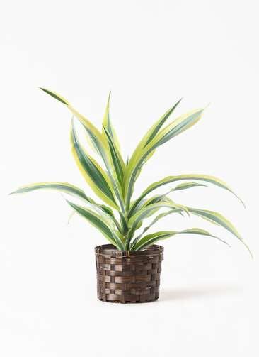 観葉植物 ドラセナ ワーネッキー レモンライム 4号 竹バスケット付き