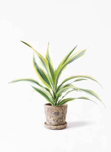 観葉植物 ドラセナ ワーネッキー レモンライム 4号 ハレー カーキー 付き