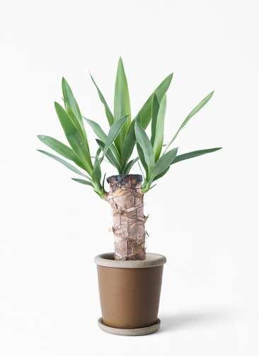 観葉植物 ユッカ 4号 ノーマル キャメルポット ブラウン 付き