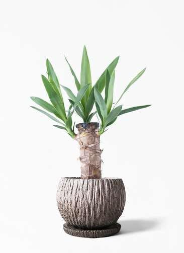 観葉植物 ユッカ 4号 ノーマル ストーン ウェア セラミック 付き