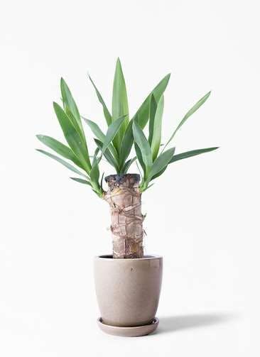 観葉植物 ユッカ 4号 ノーマル アステア トール ベージュ 付き