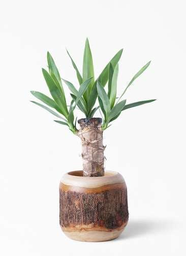観葉植物 ユッカ 4号 ノーマル マンゴーウッド 付き