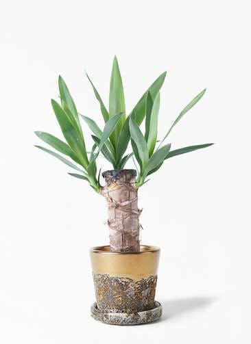 観葉植物 ユッカ 4号 ノーマル ハレー ブロンズ 付き
