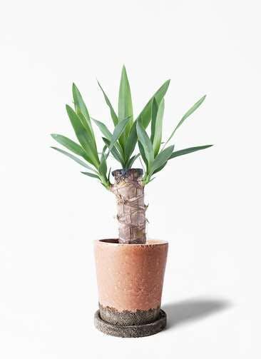 観葉植物 ユッカ 4号 ノーマル ヴィフポット サーモンピンク 付き