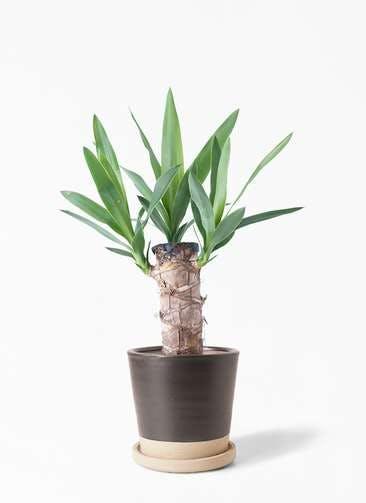観葉植物 ユッカ 4号 ノーマル マット グレーズ テラコッタ ブラック 付き
