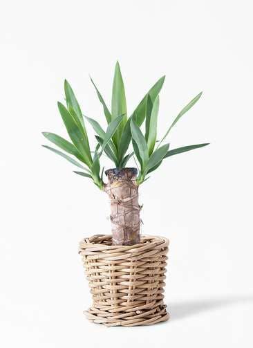 観葉植物 ユッカ 4号 ノーマル グレイラタン 付き