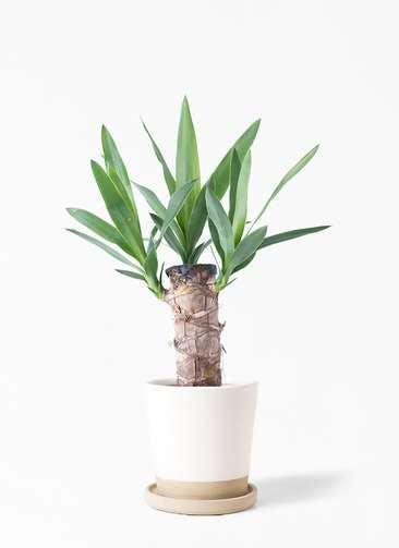 観葉植物 ユッカ 4号 ノーマル マット グレーズ テラコッタ ホワイト 付き