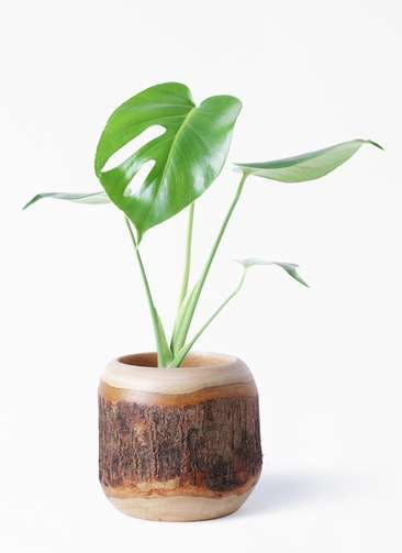 観葉植物 モンステラ 4号 ボサ造り マンゴーウッド 付き