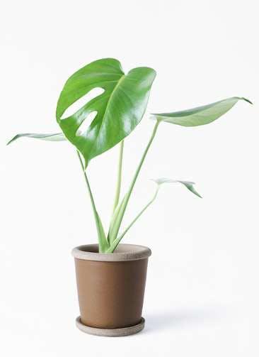 観葉植物 モンステラ 4号 ボサ造り キャメルポット ブラウン 付き