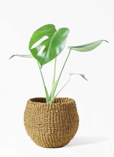 観葉植物 モンステラ 4号 ボサ造り アバカバスケット オリーブ 付き