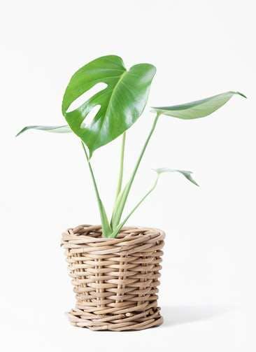観葉植物 モンステラ 4号 ボサ造り グレイラタン 付き