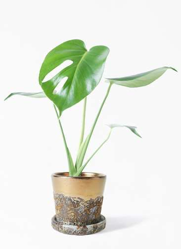 観葉植物 モンステラ 4号 ボサ造り ハレー ブロンズ 付き