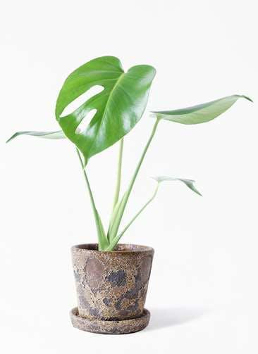 観葉植物 モンステラ 4号 ボサ造り ハレー カーキー 付き
