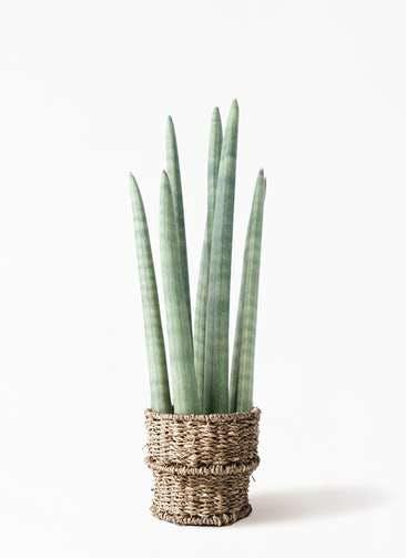 観葉植物 サンスベリア スタッキー 4号 バスケット 付き