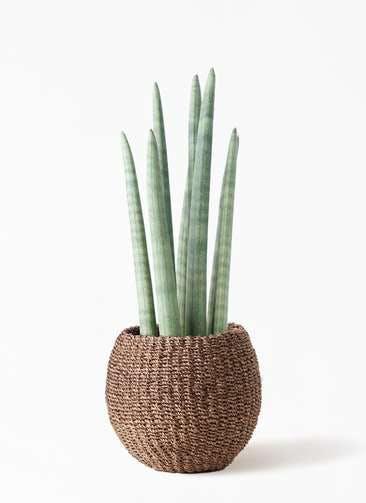 観葉植物 サンスベリア スタッキー 4号 アバカバスケット スモーク 付き