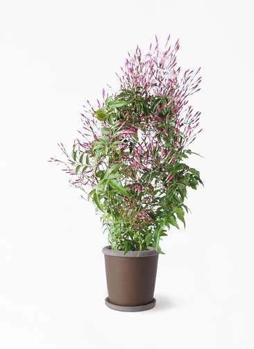 観葉植物 ハゴロモジャスミン 4号 キャメルポット ブラウン 付き