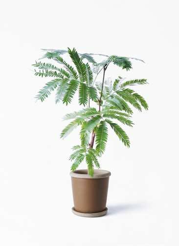 観葉植物 エバーフレッシュ 4号 ボサ造り キャメルポット ブラウン 付き