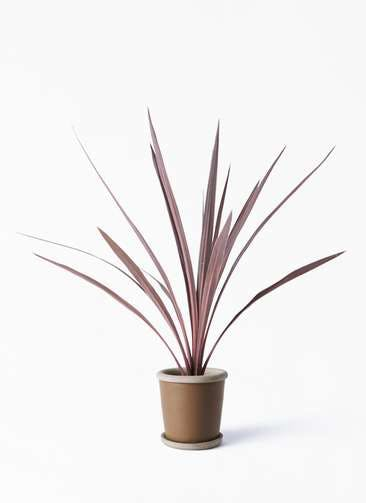 観葉植物 コルディリネ (コルジリネ) レッドスター 4号 キャメルポット ブラウン 付き