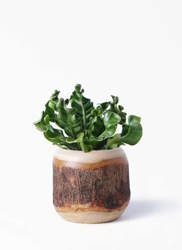 観葉植物 アスプレニウム 4号 マンゴーウッド 付き