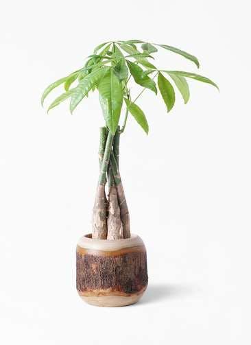 観葉植物 パキラ 4号 ねじり マンゴーウッド 付き