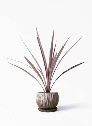 観葉植物 コルディリネ (コルジリネ) レッドスター 4号 ストーン ウェア セラミック 付き