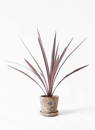観葉植物 コルディリネ (コルジリネ) レッドスター 4号 ハレー カーキー 付き