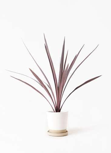 観葉植物 コルディリネ (コルジリネ) レッドスター 4号 マット グレーズ テラコッタ ホワイト 付き