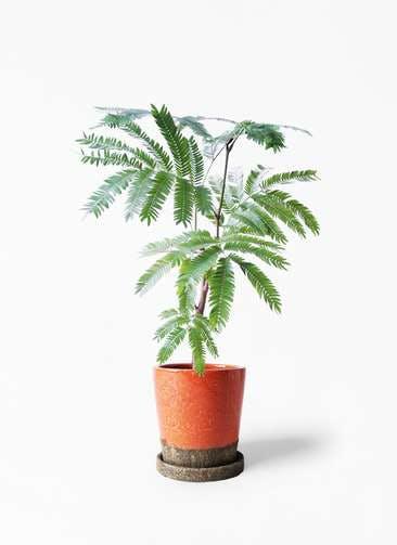 観葉植物 エバーフレッシュ 4号 ボサ造り ヴィフポット オレンジ 付き