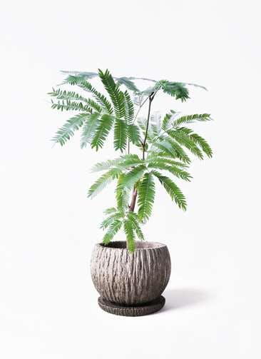 観葉植物 エバーフレッシュ 4号 ボサ造り ストーン ウェア セラミック 付き