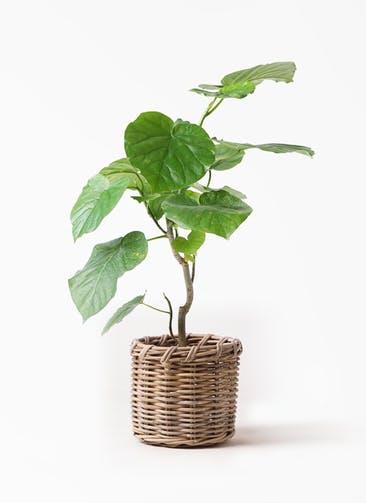 観葉植物 フィカス ウンベラータ 6号 ノーマル グレイラタン 付き
